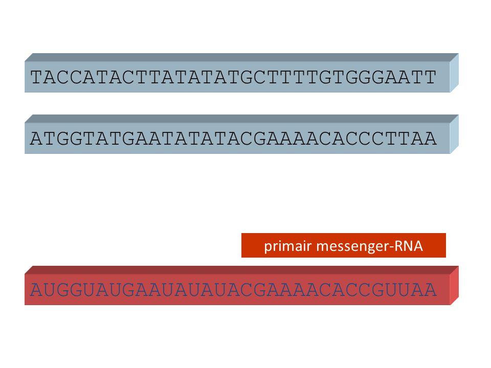 ATGGTATGAATATATACGAAAACACCCTTAA TACCATACTTATATATGCTTTTGTGGGAATT AUGGUAUGAAUAUAUACGAAAACACCGUUAA primair messenger-RNA