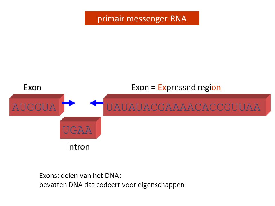 UGAA primair messenger-RNA AUGGUA Intron ExonExon = Expressed region UAUAUACGAAAACACCGUUAA Exons: delen van het DNA: bevatten DNA dat codeert voor eig