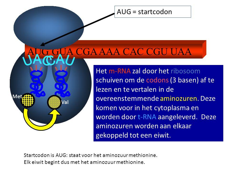 AUG GUA CGA AAA CAC CGU UAA AUG = startcodon Het m-RNA zal door het ribosoom schuiven om de codons (3 basen) af te lezen en te vertalen in de overeens