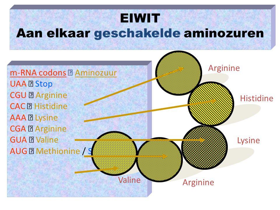 m-RNA codons  Aminozuur UAA  Stop CGU  Arginine CAC  Histidine AAA  Lysine CGA  Arginine GUA  Valine AUG  Methionine / Start EIWIT Aan elkaar