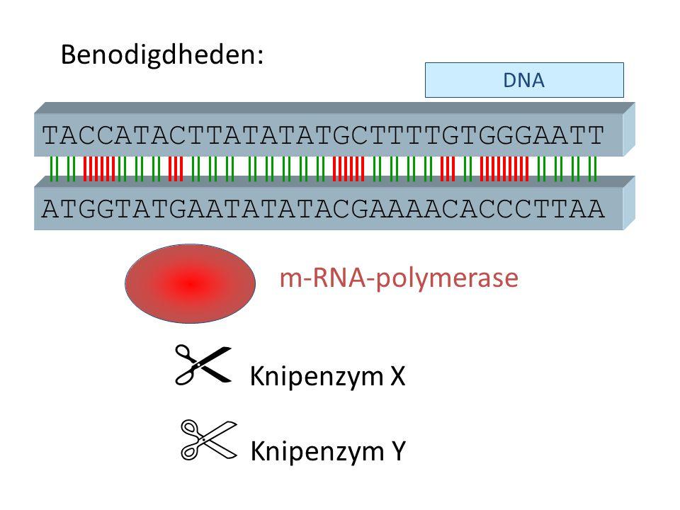 DNA ATGGTATGAATATATACGAAAACACCCTTAA  Knipenzym X m-RNA-polymerase TACCATACTTATATATGCTTTTGTGGGAATT  Knipenzym Y Benodigdheden: