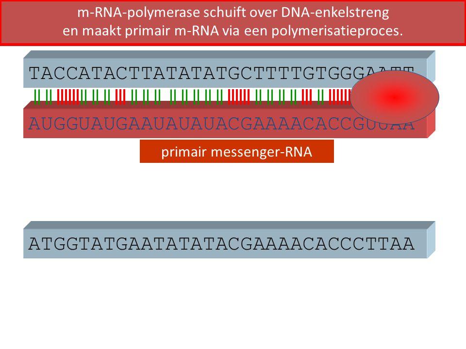 ATGGTATGAATATATACGAAAACACCCTTAA TACCATACTTATATATGCTTTTGTGGGAATT AUGGUAUGAAUAUAUACGAAAACACCGUUAA primair messenger-RNA m-RNA-polymerase schuift over DN