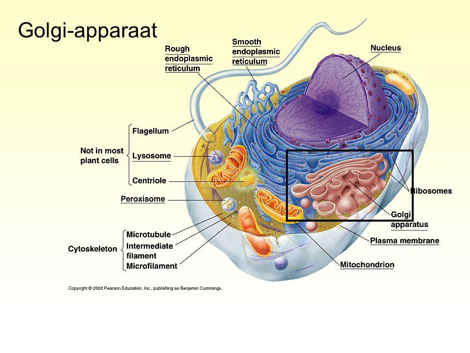 Golgi-apparaat