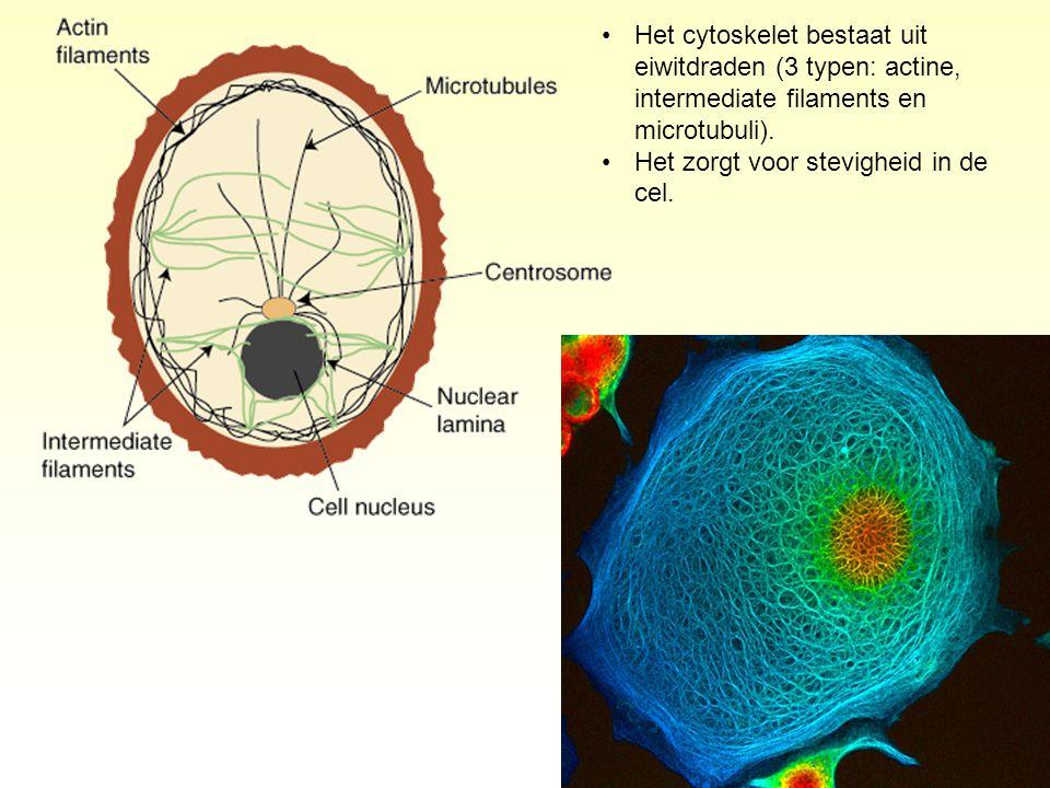 Het cytoskelet bestaat uit eiwitdraden (3 typen: actine, intermediate filaments en microtubuli). Het zorgt voor stevigheid in de cel.