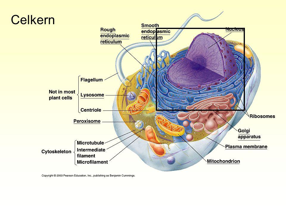 Cytoskelet