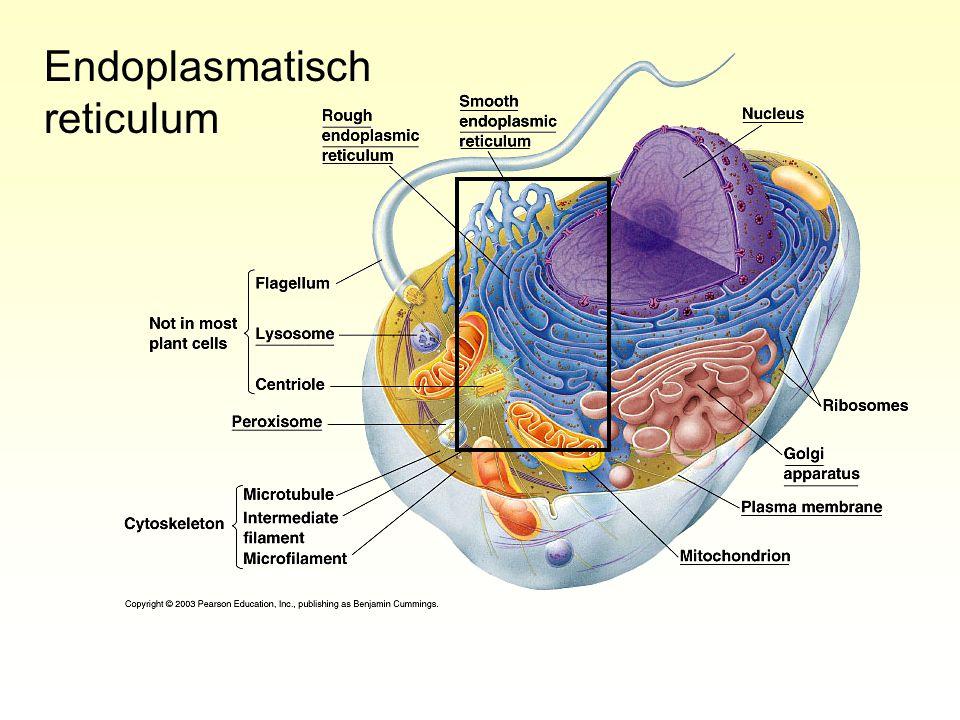 Ruw endoplasmatisch reticulum