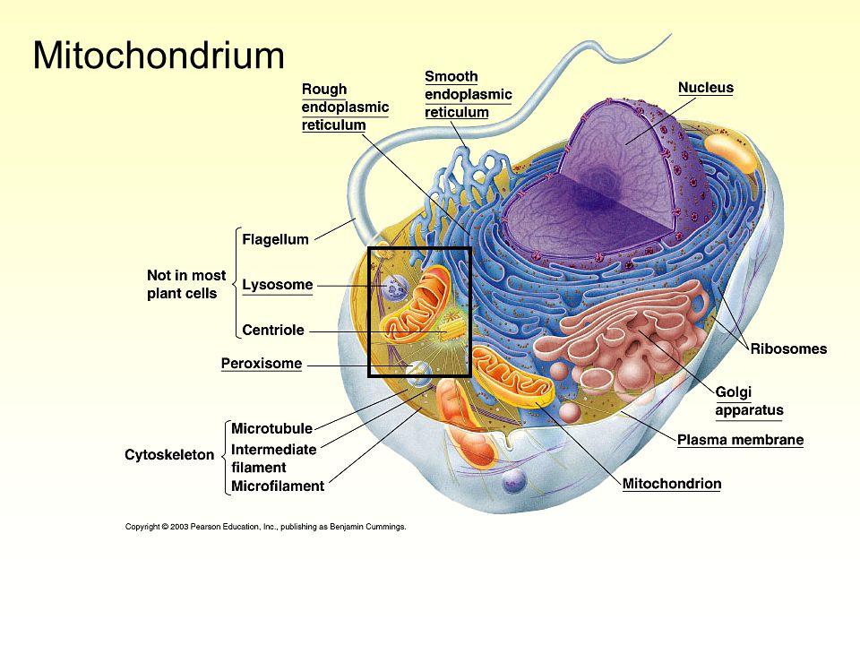 Osmose Cellen hebben een semi-permeabel membraan –Water kan goed het membraan passeren, opgeloste stoffen veel minder goed.