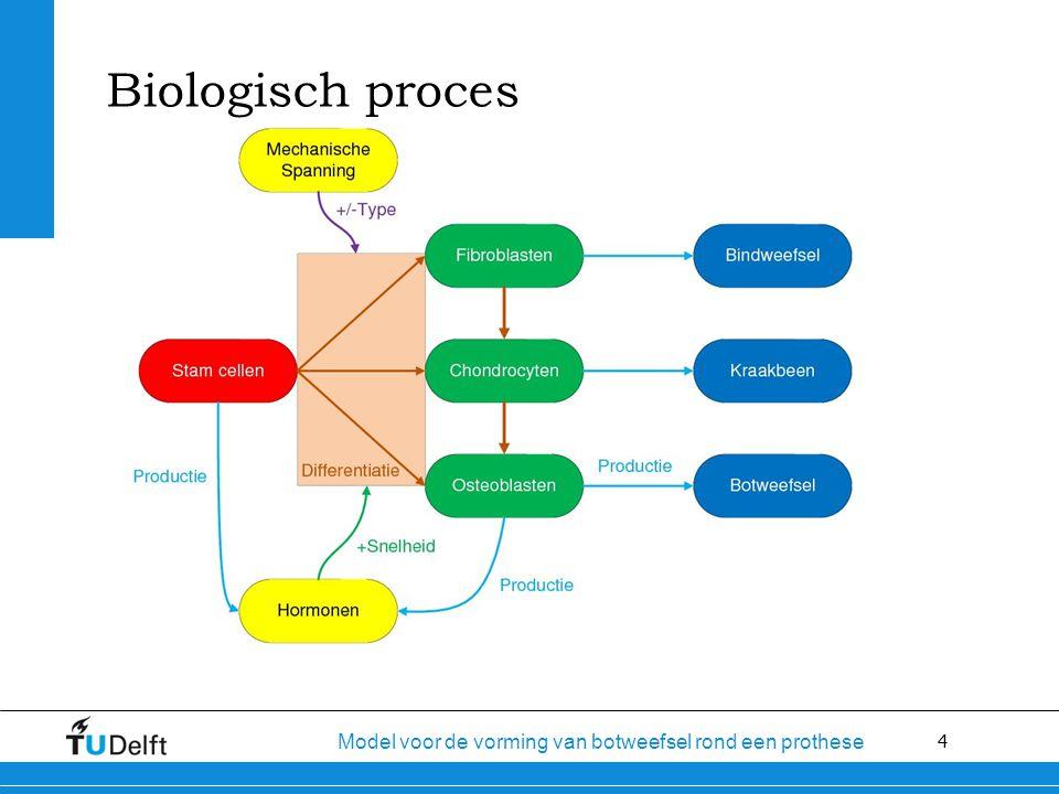4 Model voor de vorming van botweefsel rond een prothese Biologisch proces