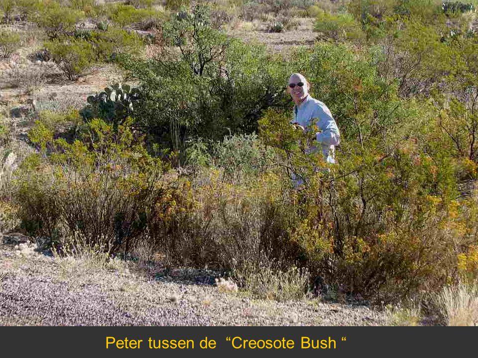 "Peter tussen de ""Creosote Bush """