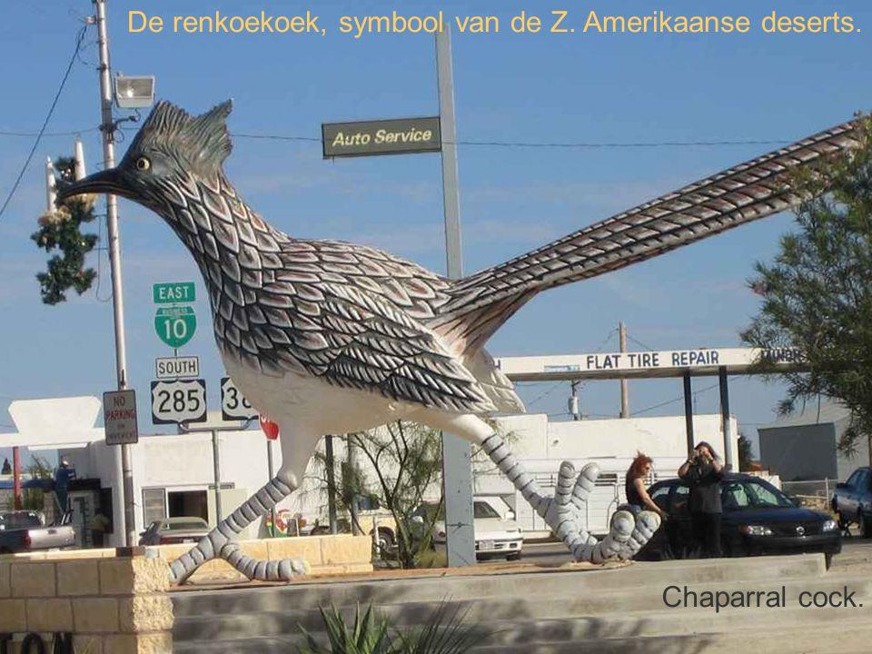 De renkoekoek, symbool van de Z. Amerikaanse deserts. Chaparral cock.