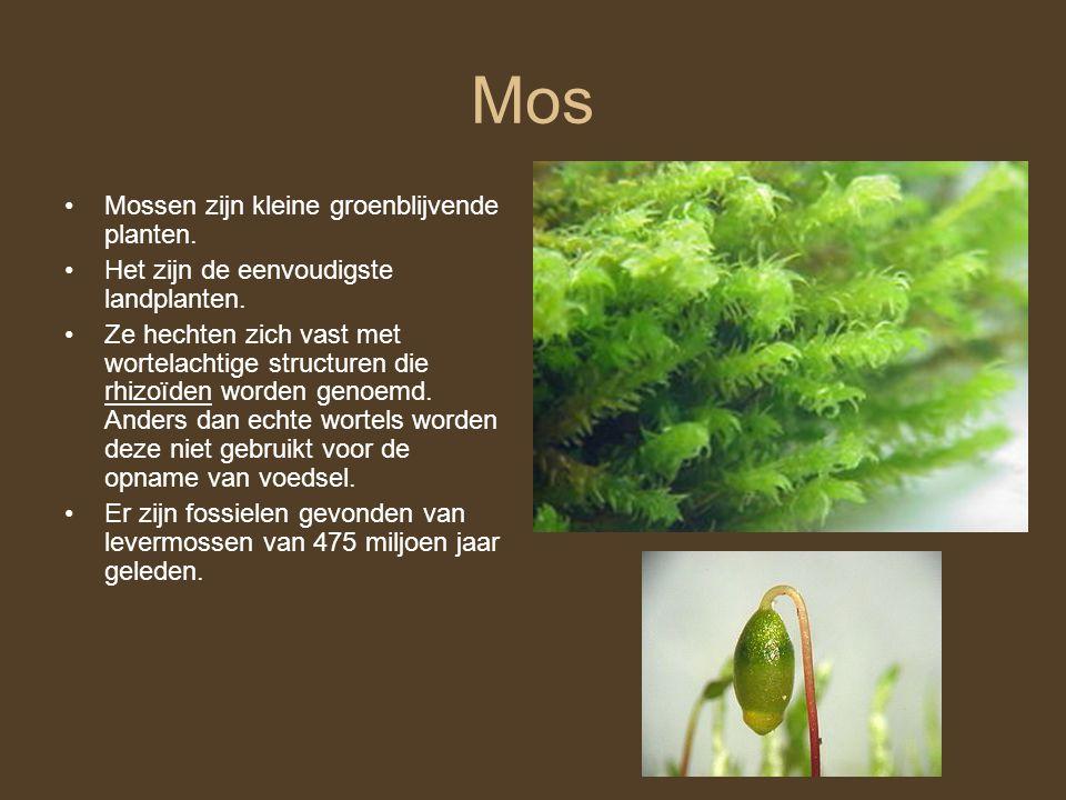 Mos Mossen zijn kleine groenblijvende planten.Het zijn de eenvoudigste landplanten.