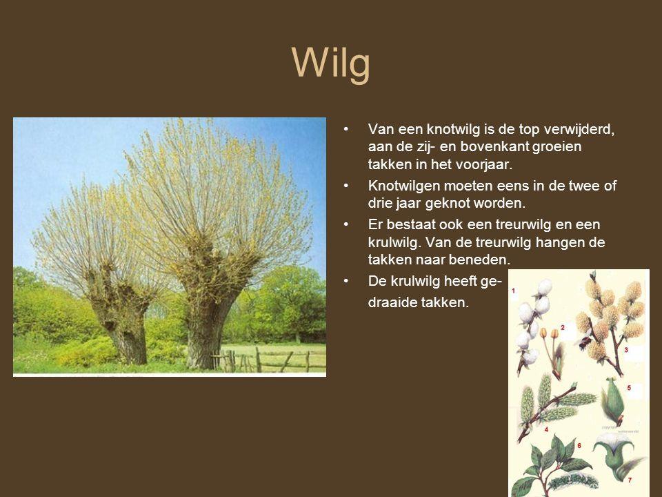 Wilg Van een knotwilg is de top verwijderd, aan de zij- en bovenkant groeien takken in het voorjaar. Knotwilgen moeten eens in de twee of drie jaar ge