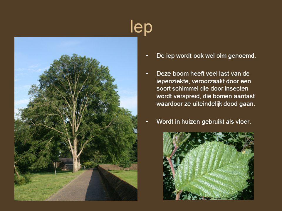 Iep De iep wordt ook wel olm genoemd. Deze boom heeft veel last van de iepenziekte, veroorzaakt door een soort schimmel die door insecten wordt verspr