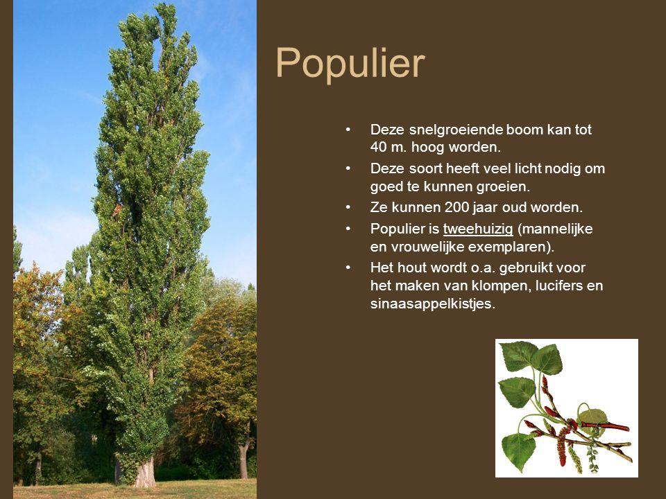 Populier Deze snelgroeiende boom kan tot 40 m. hoog worden. Deze soort heeft veel licht nodig om goed te kunnen groeien. Ze kunnen 200 jaar oud worden
