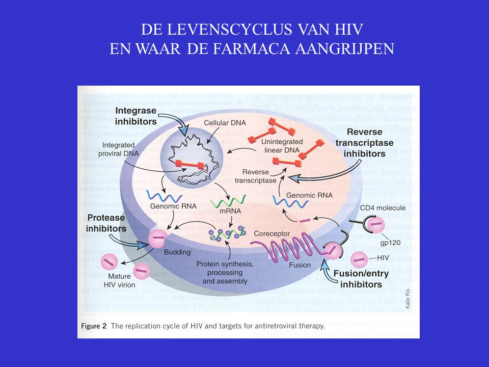 DE LEVENSCYCLUS VAN HIV EN WAAR DE FARMACA AANGRIJPEN