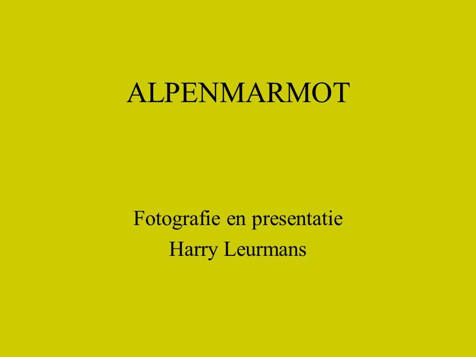ALPENMARMOT Fotografie en presentatie Harry Leurmans