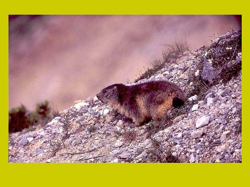Bij gevaar laten ze een korte, scherpe, fluitende alarmroep horen, waarna alle marmotten het gangenstelsel invluchten. De nestkamer, waarin de dieren