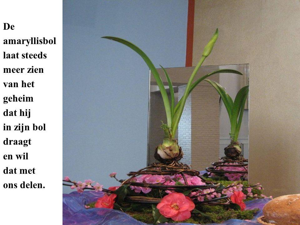 De amaryllisbol laat steeds meer zien van het geheim dat hij in zijn bol draagt en wil dat met ons delen.