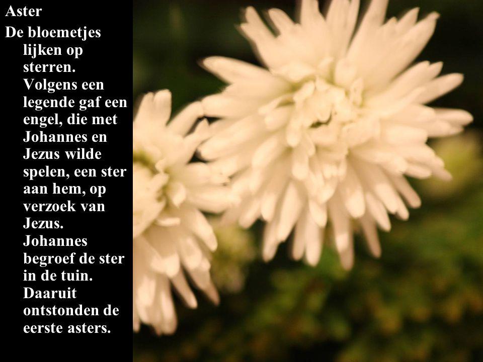 Aster De bloemetjes lijken op sterren. Volgens een legende gaf een engel, die met Johannes en Jezus wilde spelen, een ster aan hem, op verzoek van Jez
