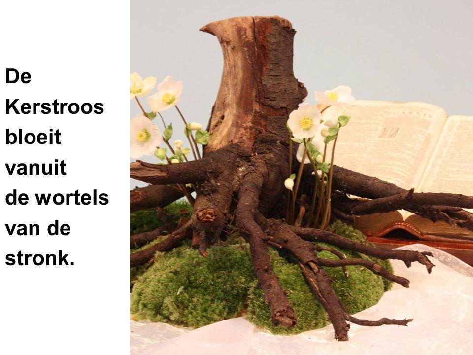 De Kerstroos bloeit vanuit de wortels van de stronk.