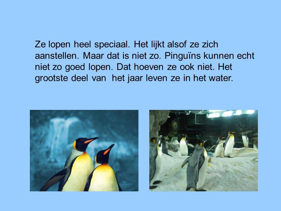 Ze lopen heel speciaal. Het lijkt alsof ze zich aanstellen. Maar dat is niet zo. Pinguïns kunnen echt niet zo goed lopen. Dat hoeven ze ook niet. Het