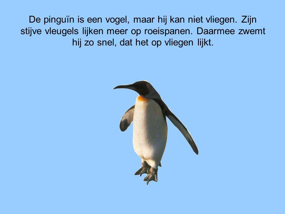 De pinguïn is een vogel, maar hij kan niet vliegen. Zijn stijve vleugels lijken meer op roeispanen. Daarmee zwemt hij zo snel, dat het op vliegen lijk