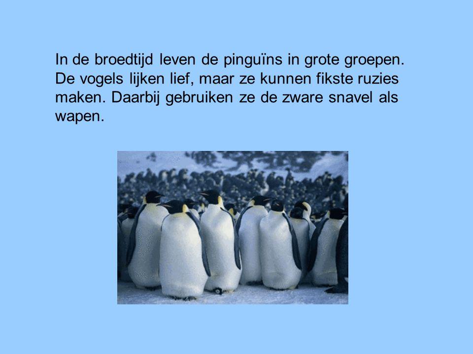 In de broedtijd leven de pinguïns in grote groepen. De vogels lijken lief, maar ze kunnen fikste ruzies maken. Daarbij gebruiken ze de zware snavel al