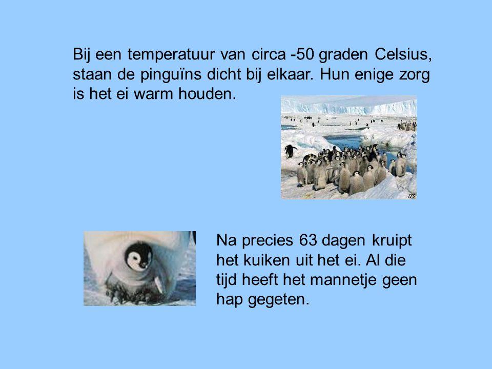 Bij een temperatuur van circa -50 graden Celsius, staan de pinguïns dicht bij elkaar. Hun enige zorg is het ei warm houden. Na precies 63 dagen kruipt