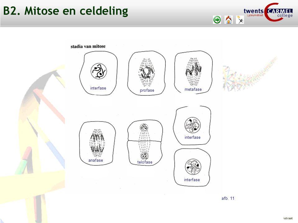 © 2009 Biosoft TCC - Lyceumstraat profase interfase metafase anafase telofase interfase afb.