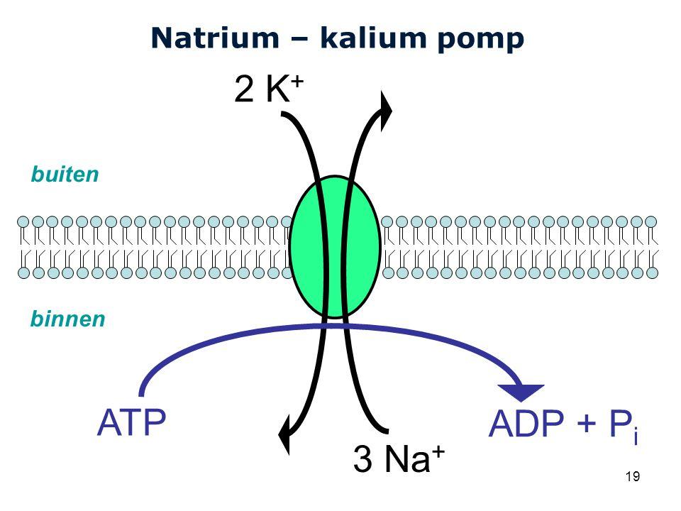 Cardiovascular Research Institute Maastricht (CARIM) 19 Natrium – kalium pomp 3 Na + 2 K + ATP ADP + P i buiten binnen