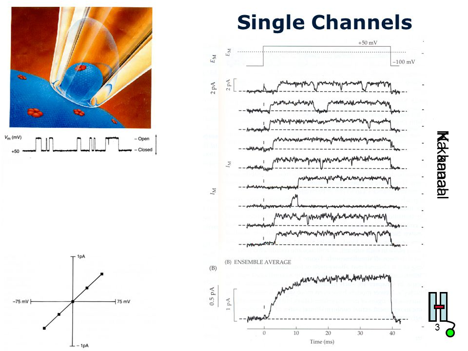 Cardiovascular Research Institute Maastricht (CARIM) 33 Single Channels Na kanaalK kanaal
