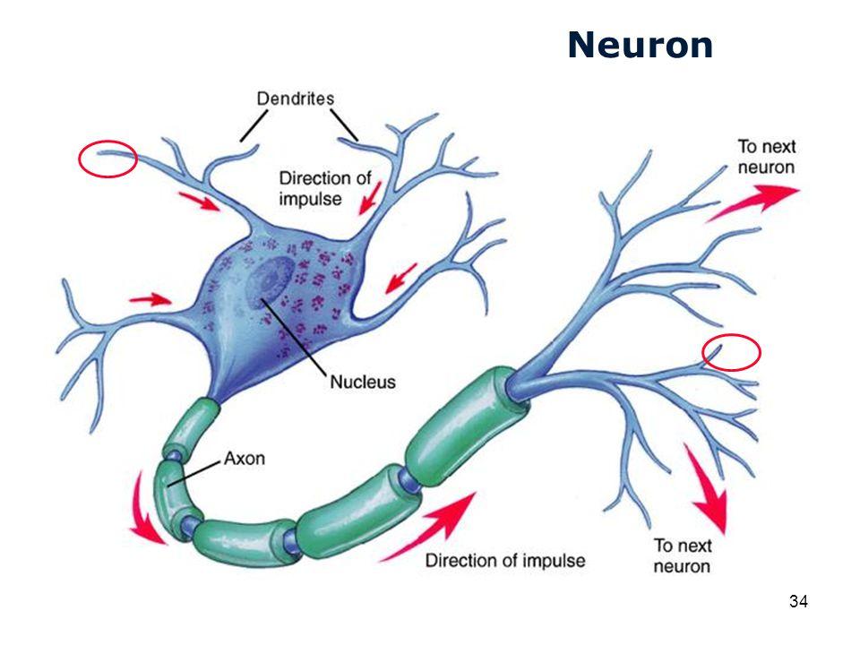 Cardiovascular Research Institute Maastricht (CARIM) 34 Neuron