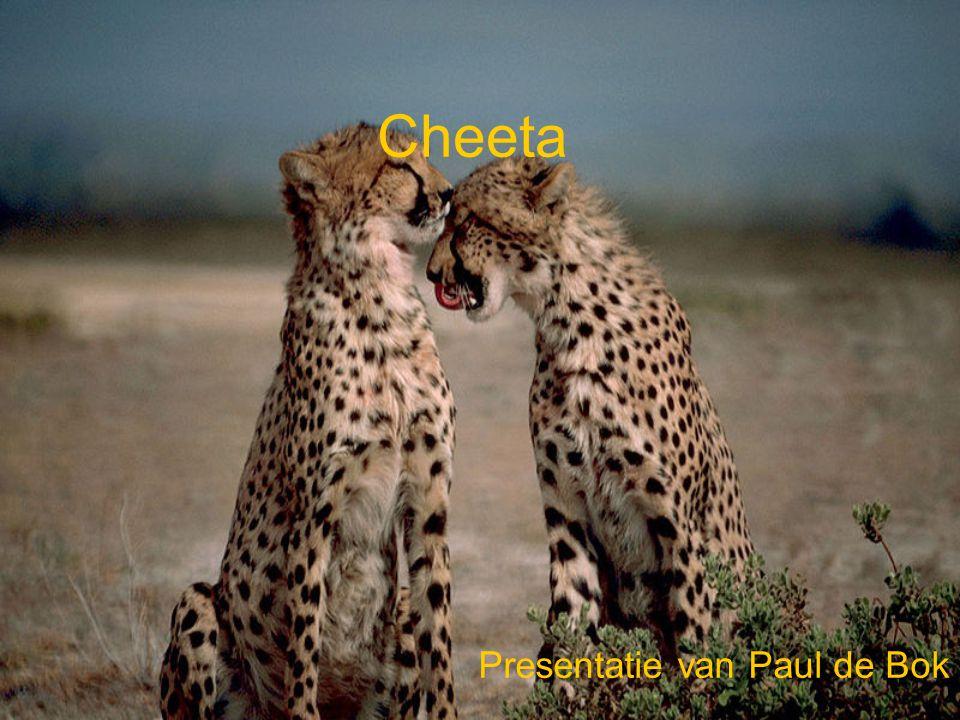 Cheeta Presentatie van Paul de Bok