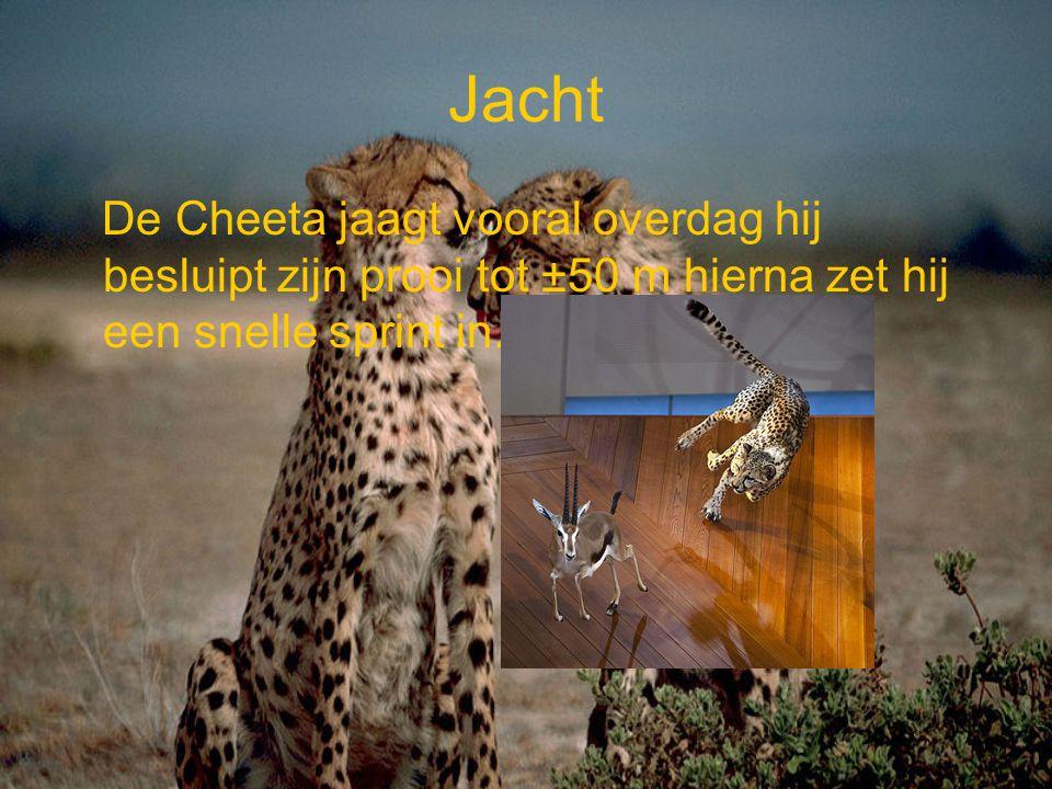 Snelheid De Cheeta kan tijdens de jacht op een gazelle een snelheid halen van 106 km/uur.