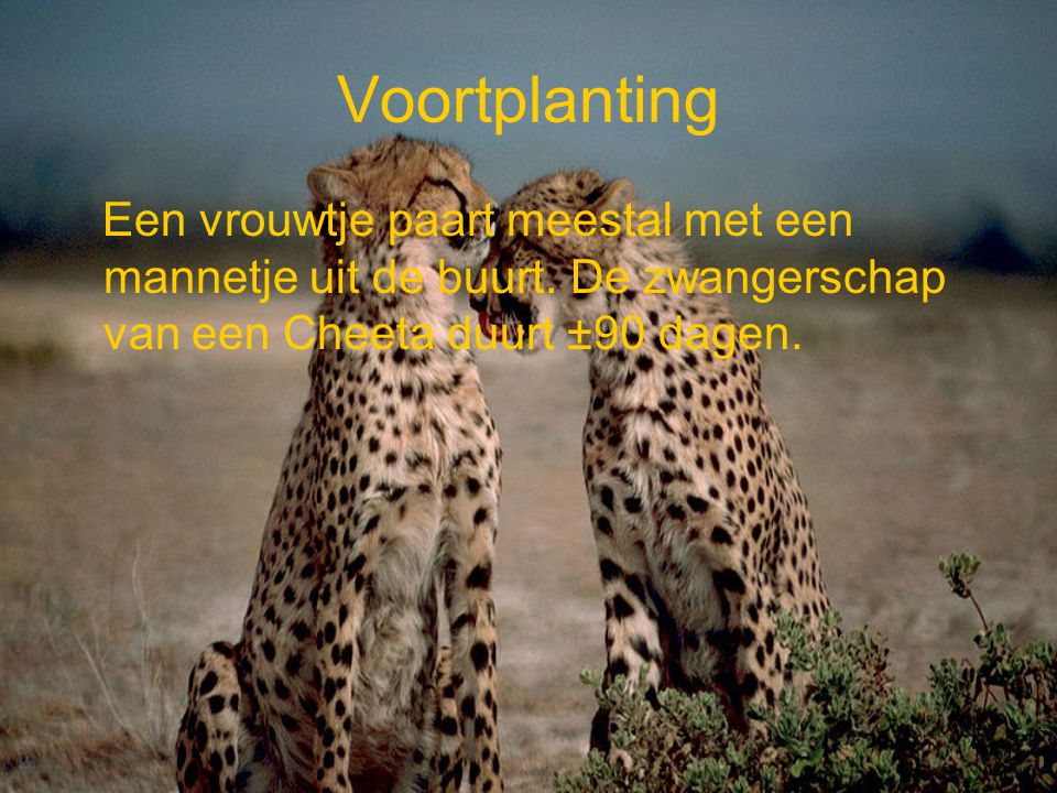 Voortplanting Een vrouwtje paart meestal met een mannetje uit de buurt. De zwangerschap van een Cheeta duurt ±90 dagen.