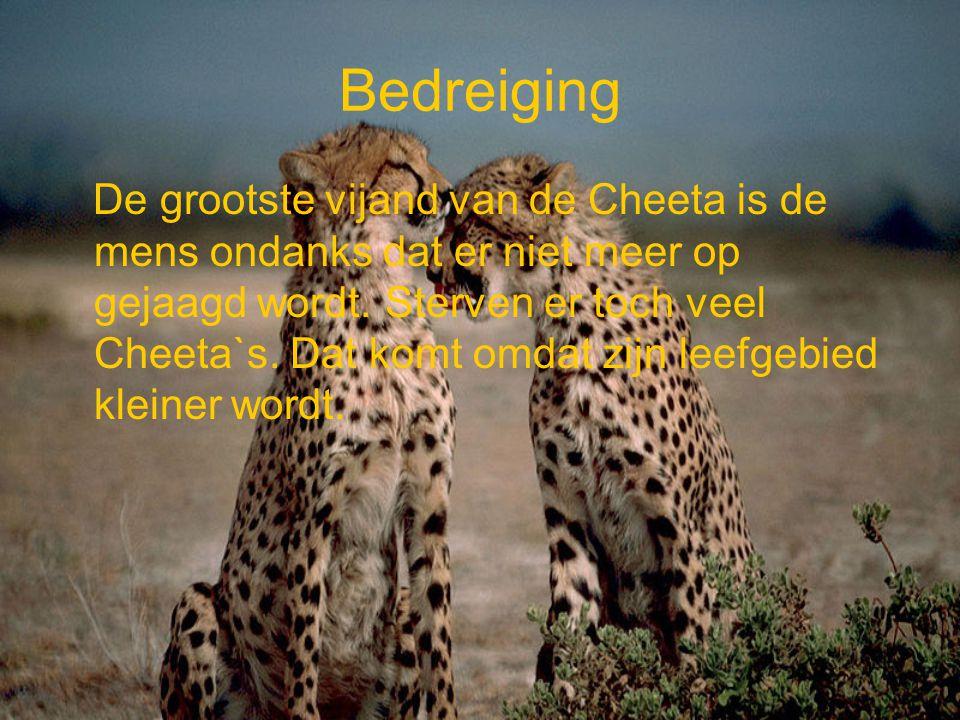 Bedreiging De grootste vijand van de Cheeta is de mens ondanks dat er niet meer op gejaagd wordt. Sterven er toch veel Cheeta`s. Dat komt omdat zijn l
