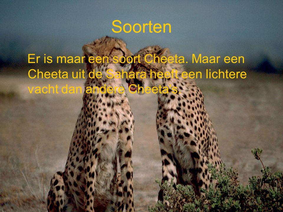 Stichting SPOTS Stichting SPOTS probeert ervoor te zorgen dat er minder bedreigde katachtigen waaronder de Cheeta sterven dat doen zij in samenwerking met ander instanties.