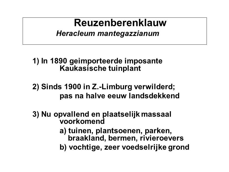 Reuzenberenklauw Heracleum mantegazzianum 1) In 1890 geimporteerde imposante Kaukasische tuinplant 2) Sinds 1900 in Z.-Limburg verwilderd; pas na halv