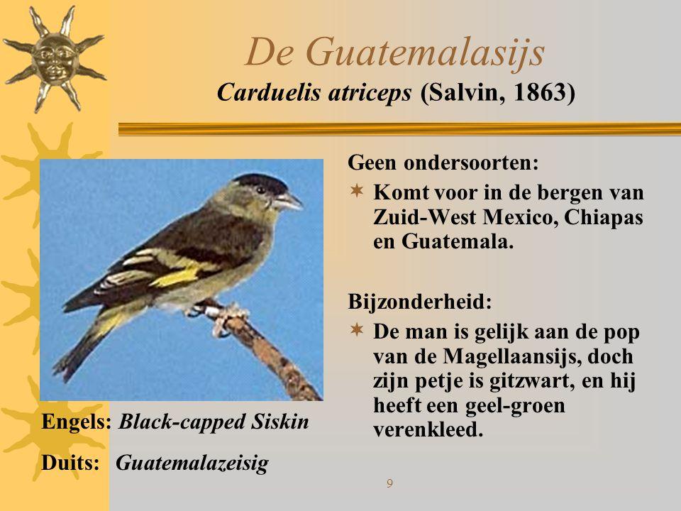 10 De Kapoetsensijs Carduelis cucullata (Swainson, 1820) Geen ondersoorten:  Land van herkomst is Venezuela Bijzonderheden:  Ongetwijfeld een van de mooiste sijzensoorten.