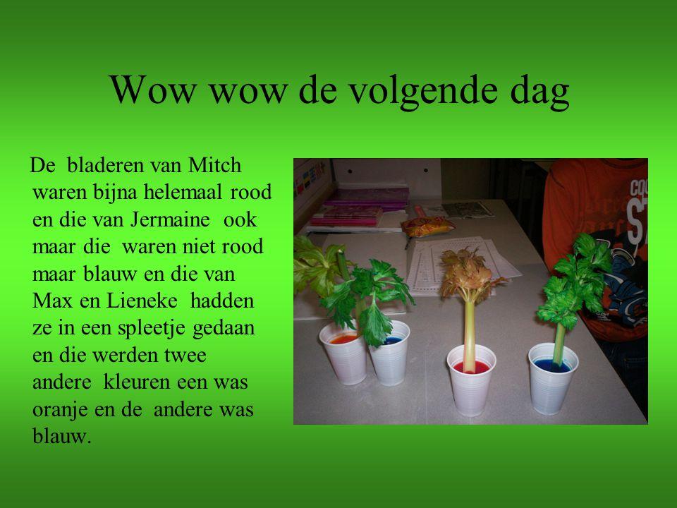 De twee kleuren plant Bij de twee kleuren plant kun je goed zien dat de plant aan twee kanten water met kleurstof heeft op gezogen.