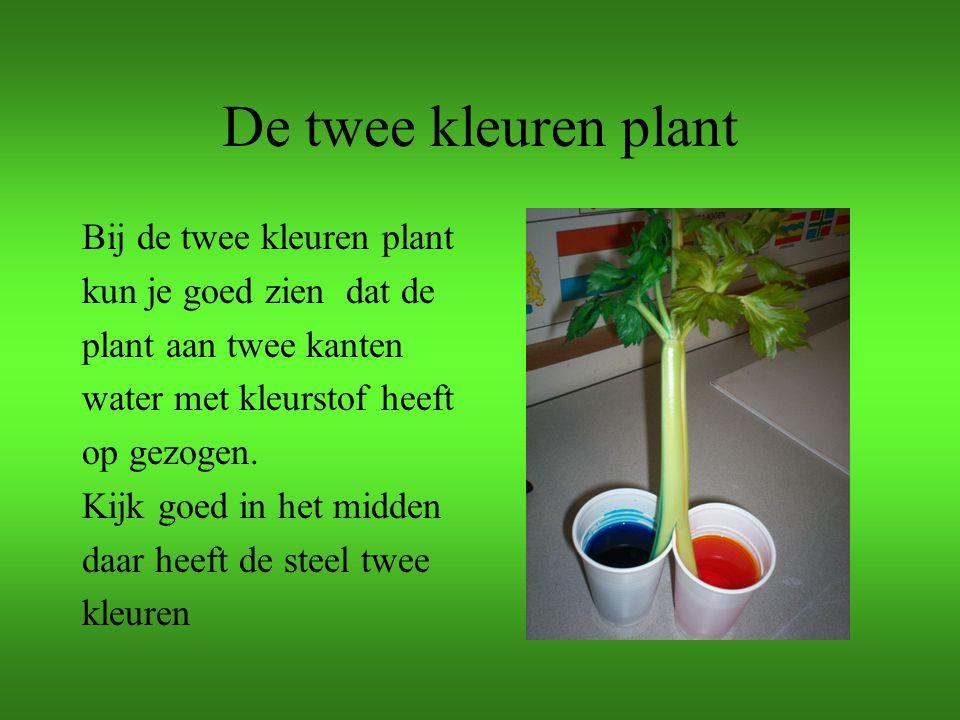 De twee kleuren plant Bij de twee kleuren plant kun je goed zien dat de plant aan twee kanten water met kleurstof heeft op gezogen. Kijk goed in het m