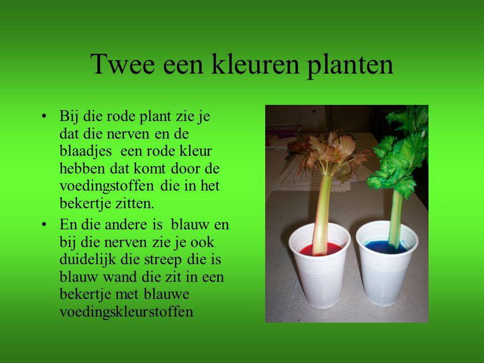 Twee een kleuren planten Bij die rode plant zie je dat die nerven en de blaadjes een rode kleur hebben dat komt door de voedingstoffen die in het beke