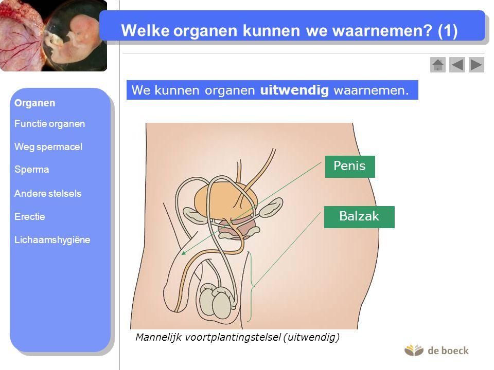 Mannelijk voortplantingstelsel (uitwendig) Welke organen kunnen we waarnemen? (1) We kunnen organen uitwendig waarnemen. Penis Balzak Organen Functie