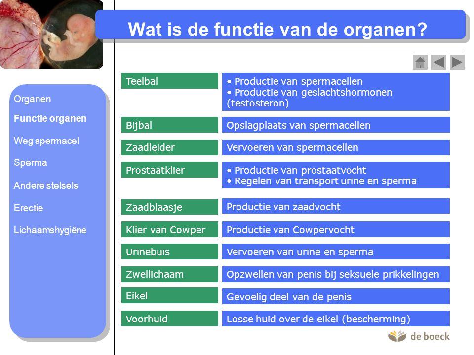 Wat is de functie van de organen? Teelbal Productie van spermacellen Productie van geslachtshormonen (testosteron) BijbalOpslagplaats van spermacellen