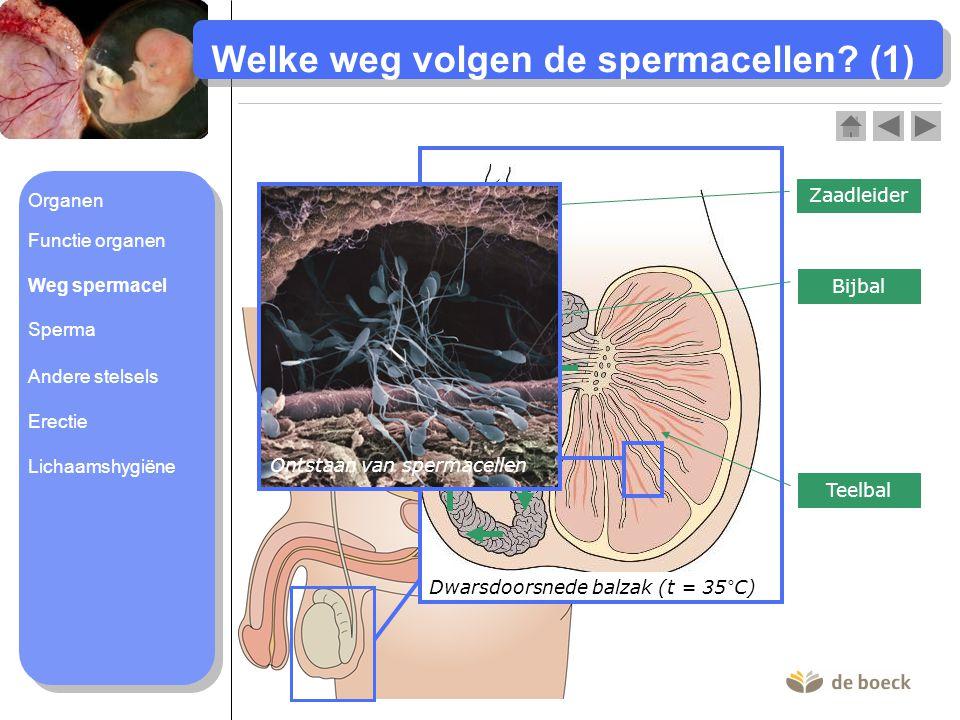 Welke weg volgen de spermacellen? (1) Dwarsdoorsnede balzak (t = 35°C) Teelbal Bijbal Zaadleider Ontstaan van spermacellen Organen Functie organen Weg