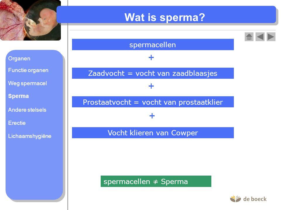 Wat is sperma? Zaadvocht = vocht van zaadblaasjes Prostaatvocht = vocht van prostaatklier Vocht klieren van Cowper + + + spermacellen spermacellen ≠ S