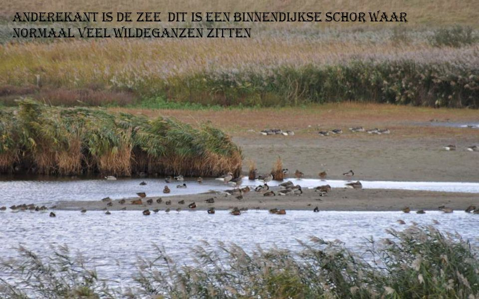 Aan Colijnsplaat Wilde ganzen kieken