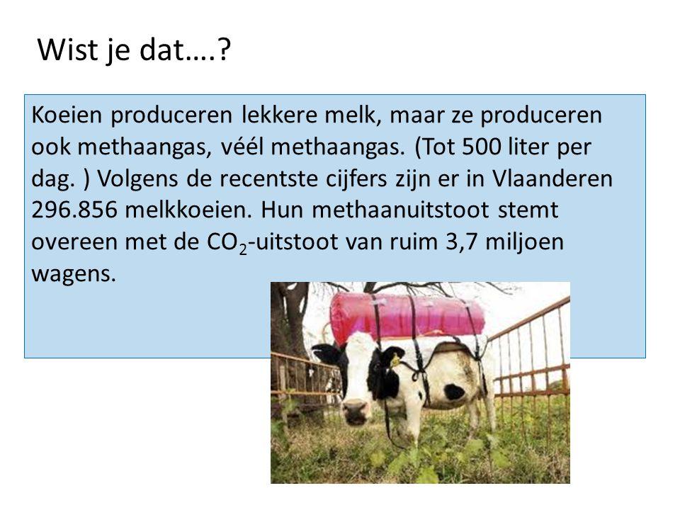 Koeien produceren lekkere melk, maar ze produceren ook methaangas, véél methaangas. (Tot 500 liter per dag. ) Volgens de recentste cijfers zijn er in