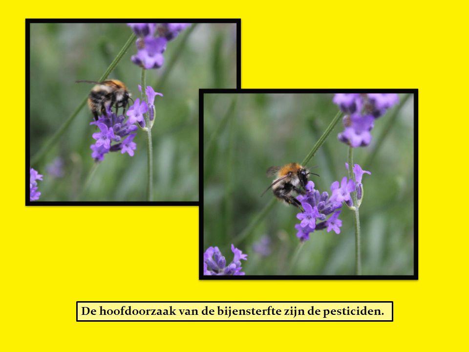 De hoofdoorzaak van de bijensterfte zijn de pesticiden.