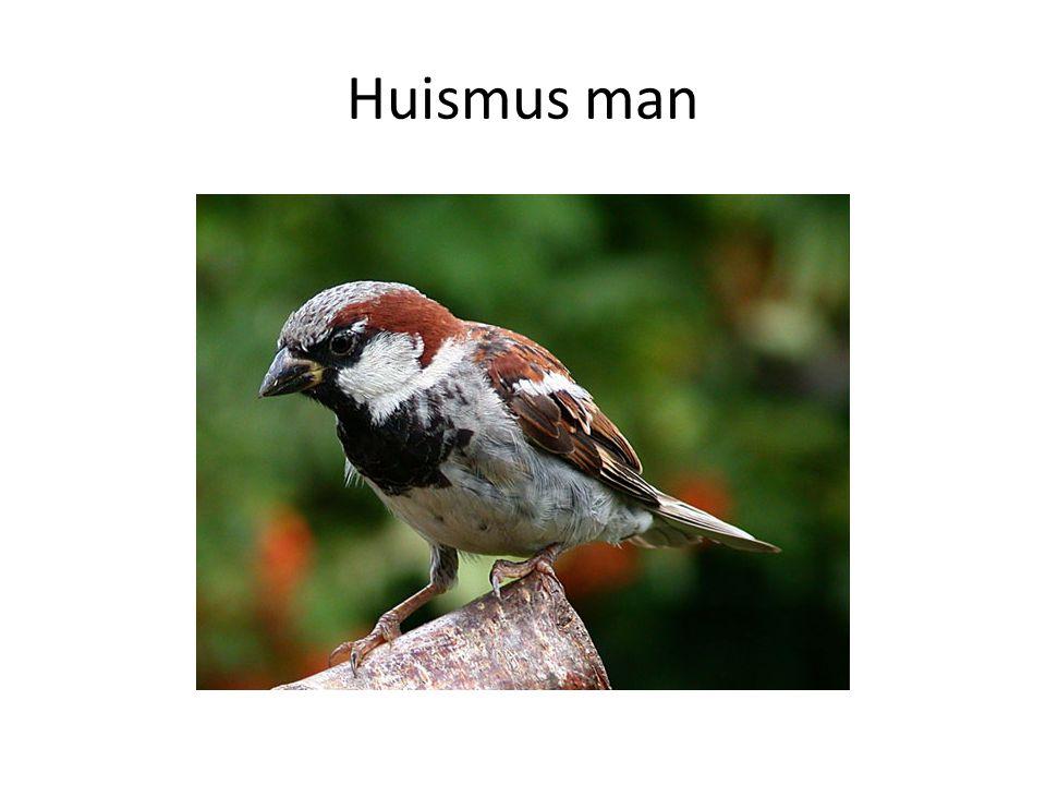 Huismus man